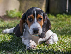 IMG_8301 (BFDfoster_dad) Tags: basset hound puppy