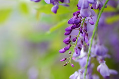 紫藤花 (Jill-Wang) Tags: 紫藤花 bokeh purple purpleflower wisteria fujifilm xpro1 100mm greencolor green