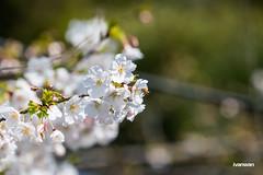 Spring 春 (Ivan Wan イワン) Tags: a7 a7rm2 a7r2 flower sakura travel traveling tokyo mishima 三島 三嶋大社 桜 旅行 日本 japan