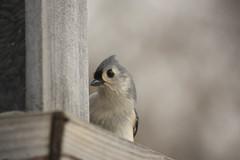 Tufted Titmouse (jakelesuer) Tags: nature naturephotography bird photography jakelesuer titmouse massachusetts wildlife animal
