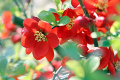 Chaenomeles speciosa / Japanische Zierquitte (Mah Nava) Tags: red rot chaenomelesspeciosa zierquitte chaenomeles japanischezierquitte floweringquince spring frühling lokischmidtgarten