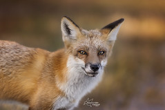 Red Fox Close Up (Tami Hrycak ッ) Tags: fox wildlife nature tamihrycak naturesgiftscaptured wildnewjersey animal nikond4s photoshop creative closeup njnature 300mm justnewjersey bokeh jerseyshore redfox wild specanimal
