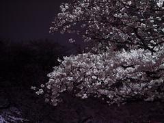 Pink Monotone (H.H. Mahal Alysheba) Tags: ueno tokyo japan sakura cherry cherryblossom flower night lumix gx7 leicadg elmarit 45mmf28