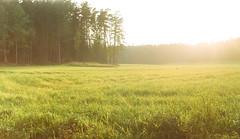 (JulianaKruz) Tags: sunset sunshine forest nature grass film filmphoto analog analogue analogphoto 35mm fed fed2 agfa agfavista пленка фотопленка солнце природа лес