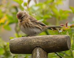 The Lesser Redpoll (Matts__Pics) Tags: lesserredpoll roses fork handle birds