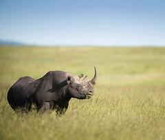 Le repos paisible (Vincent Chopard • Wildlife photographer) Tags: masaimara blackrhino kenyawildlife kenya maasaimara swissphotographer rhinoceros wildlife wildanimal nature rhino nikond800 nikonphotography nikkorlens nikkor400mmf28 nikonwildlife nikon swissartist