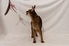 Leia vs Da Bird (Katherine Ridgley) Tags: cat cats action abyssinian abyssiniancat femaleabyssinian femalecat domesticcat purebred purebreed purebredcat ruddyabyssinian ruddy usualabyssinian usual feliscatus felissilvestriscatus felis felidae carnivore carnivora mammal mammalia animal animalia feline toy play dabird dabirdcattoy