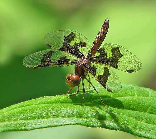 lady amberwing - a blast from the past