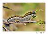 Aporia crataegi caterpillar (Adria Miralles) Tags: aporia crataegi blanca majuelo crataegus prunus guadarrama madrid spain lepidoptera mariposa papallona butterfly butterflies