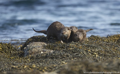 Otter Family (Alastair Marsh Photography) Tags: otter otters ottercub ottercubs mammal mammals babymammal fur ocean water sea loch seaweed family otterfamily scotland scottishwildlife scottishhighlands scottishmammals scottishmammal animal animals animalsintheirlandscape wildlife britishwildlife britishmammals britishmammal isleofmull isle mull coastline coast britishcoast britishcoastline