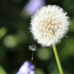 (jc.dazat) Tags: pissenlit fleur nature flou blur macro extérieur photo photographe photography photographie canon jcdazat