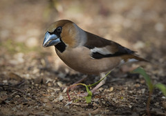 Duelling scar? (Chris Bainbridge1) Tags: coccothraustescoccothraustes malehawfinch ground feeding hornbeamwood norfolk
