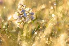 Lumière incidente (stephanegachet) Tags: france bretagne orchidée orchid sun light lumière stephanegachet gachet macro