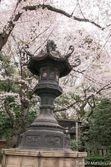 Lantern 灯篭 (takashi_matsumura) Tags: lantern 灯篭 sigma 1750mm f28 ex dc os hsm nikon d5300 cherry blossoms sakura spring yasukuni shrine kudanshita tokyo japan ngc 靖国神社