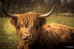 Highland Cattle (esbenbrøns) Tags: highland cattle highlandcattle nature natur kvæg ko holstebro hochlandrinder animal tier horn esbenbrons esbenbrøns photographybybrøns canon5dmrk3 ef70200mmf28lllusm