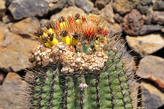 Colourful Cactus (TonyKRO) Tags: colourfulcactus cactus flora nature lanzarote jardíndecactus touristattraction travel canaryislands spain