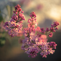 Scent to Delight (gregmolyneux) Tags: bokeh flora lilac softfocus squareformat stafford newjersey unitedstates usa