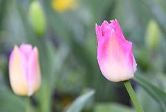 Tulip (careth@2012) Tags: flower spring petals nature tulip