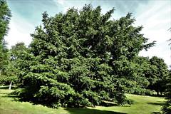Wingnut (Caucasian) (Hall Place Idler) Tags: wingnut caucasian pterocarya juglandacae hallplace