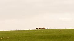 DSC_2820 (Omar Rodriguez Suarez) Tags: gass yerba hierba cows vacas landscape field campo