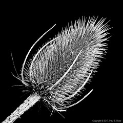 Macro Monday - Member's Choice: Seeds (roseysnapper) Tags: bw helicon focus macro monday members choice seeds nik software silver efex pro 20 black white background close up stack natural light wild flower window lightroom blackandwhite dried monochrome nature plant sharp spiky teasel teasle teazle dipsacus