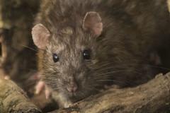 RAT (_jypictures) Tags: rat animalphotography animals animal canon canon7d canonphotography wildlife wildlifephotography wiltshire nature naturephotography