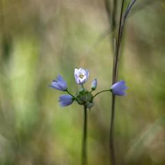 little wildflower (ΞSSΞ®®Ξ) Tags: ξssξ®®ξ pentax k5 2017 spring wildflowers countryside lazio italy flowers bokeh outdoor blossom light depthoffield plant smcpentaxm50mmf17 stradadipomata tivoli flower