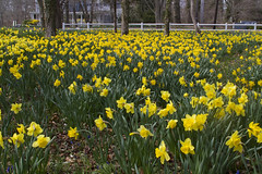Daffodil Forest 2017 (brucetopher) Tags: daffodil daffodils forest garden yellow locust tree field flowers spring season easter beauty scenery landscape stunning magical enchanted prolific abundant bloom flowering blooming meadow fence hff fencedfriday