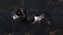 Tufted Duck (M) (kearneyjoe) Tags: tufted duck stjohns newfoundland