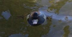 Tufted Duck (M) (kearneyjoe) Tags: tufted duck stjohns newfoundland surfacing