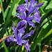 J20170420-0159—Iris douglasiana—RPBG