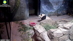 Lovely Mei Xiang  ./rg785.png (heights.18145) Tags: smithsoniansnationalzoo beibei meixiang panda animals ccncby
