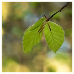 113/365 (Jane Simmonds) Tags: forestofdean nature spring beech leaves tree pentaxtakumar50mm14 113365 3652017