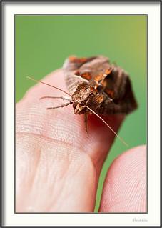 Polilla - Moth