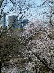 Cherry Blossoms against the skyline (Toats Master) Tags: cherry blossoms highpark trees cherryblossoms