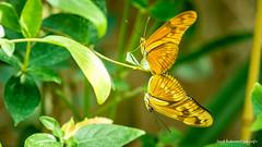 JM foto75-136 (janetankersmit) Tags: 2017 vlinders vlindertuin zutphen