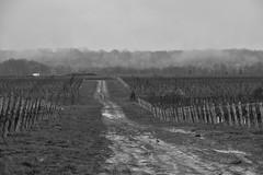 contrast-no contrast (Franky2step) Tags: bw vineyards fuji niagara