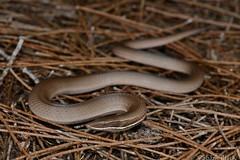 Burton's Legless Lizard (Lialis burtonis) (shaneblackfnq) Tags: burtons legless lizard lialis burtonis shaneblack pygopod reptile sydney nsw new south wales australia sandstone ridge casuarina