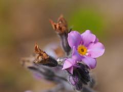 forget me not (michaelmueller410) Tags: blume verblüht blüte blühen faded bud bloom myosotis forgetmenot spring frühling violet lila violett rosa pink rose grlb bokeh dof