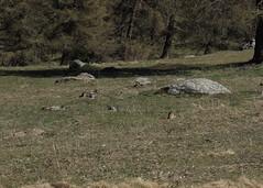 une marmotte! (bulbocode909) Tags: marmottes valais suisse montchemin printemps alpagedutronc rochers montagnes nature vert arbres mélèzes