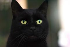 I will never forget you (katjacarmel) Tags: black pet chat gato kat dier portait felino katze mačka 貓 love tier životinja animale gatto eyes green