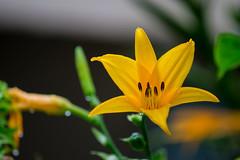 Yellow Lily (E S M Photography) Tags: yellow lily morning sunrise outdoor garden flower phothooftheday caribbean caribe puertorico boricua beautifull green nature naturaleza natural naturallight drops