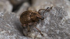 Weevil Macro (Ben Wink Photography) Tags: uk england brown colour macro eye rock garden insect photography suffolk nikon ben norfolk beetle 28 wink f28 vr weevil 105mm d90 zoilus kaldari hypera