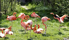 Flamingos (Metro Tiff) Tags: orange bird flamingo feathers fowl plumage