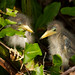 Little Green Heron Chicks