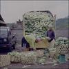 01184 (~maxi) Tags: bali 120 6x6 film analog mediumformat indonesia market vegetable cabbage kodake100vs hasselblad501cm epsonv700