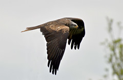 Black kite (Wildlife Online) Tags: kite andover raptor milvusmigrans blackkite birdofprey hawkconservancy blackredkite marcbaldwin wildlifeonline
