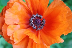Poppy In Tangerine (bigbrowneyez) Tags: new orange macro green beautiful tangerine ruffles petals pretty bright blossom bokeh details natura center double fresh poppy bloom layers lovely elegant delicate sherbet mygarden tender bello papavero bellissimo fioro poppyintangerine