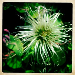 Shiny Seedhead (MoMontyMisty) Tags: closeup clematis seedhead iphone hipstamatic