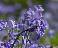 more bluebells (eleda 1) Tags: woodlands purple blubells
